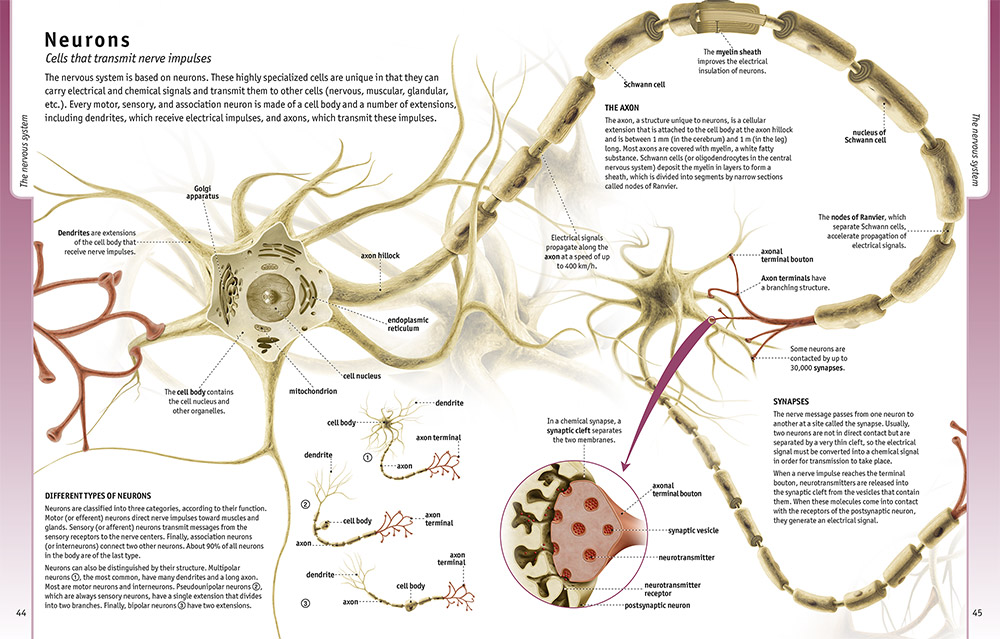 Health encyclopedias - Understanding the Human Body